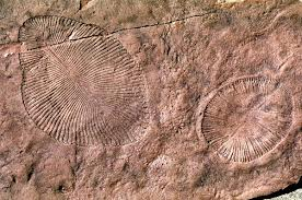 Dickinsonia - an iconic fossil of the Ediacaran biota